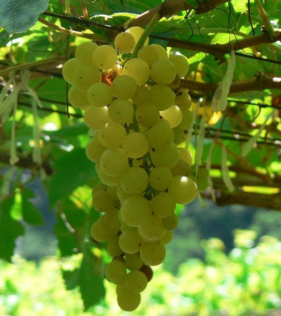 2014.10.28.Chenin_blanc_grapes